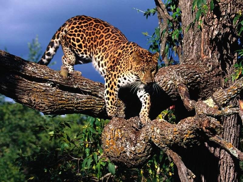 Animal%2001%20Leopard